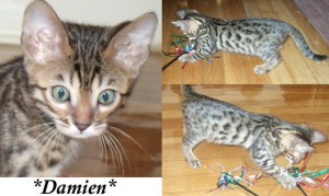 Damien Male Brown Spotted Bengal Kitten