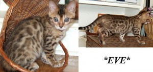Eve Female Brown Spotted Bengal Kitten
