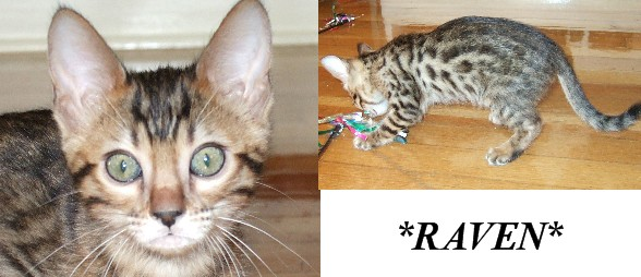 Raven Female Brown Spotted Bengal Kitten