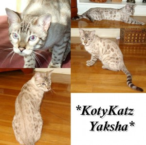 Silver Seal Lynx Point - Yaksha 10 months