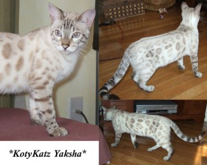 Silver Seal Lynx Point - Yaksha 7 months
