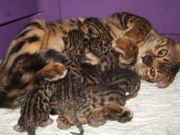 Brown Spotted Bengal Kitten Litter