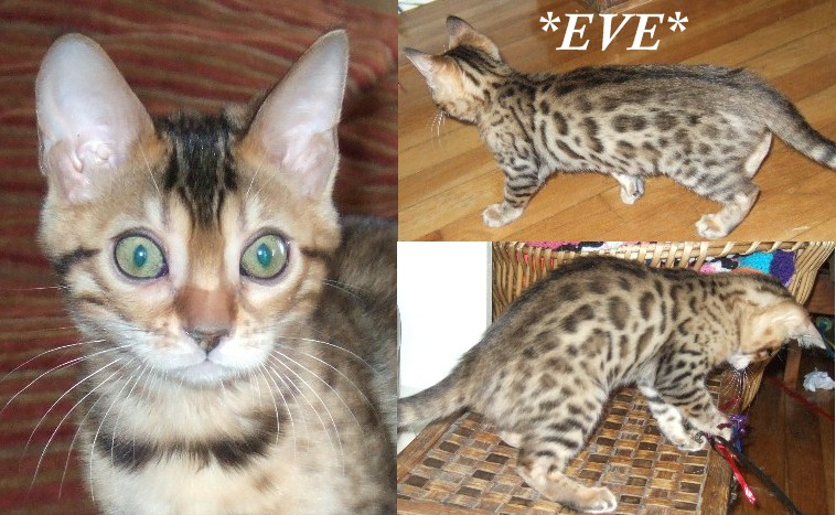 White spotted bengal kittens for sale