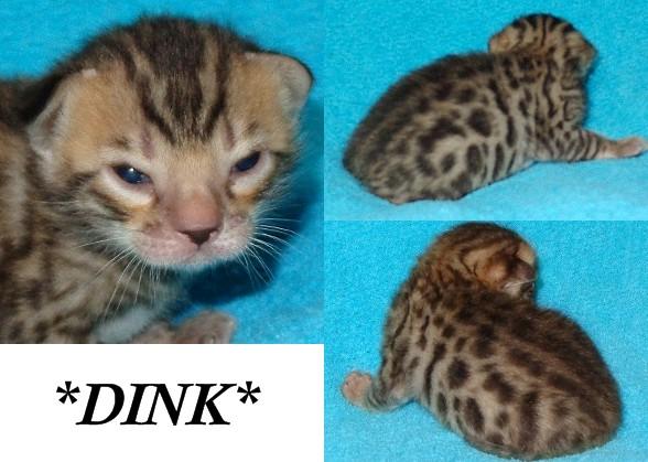Bengal kitten brown rosetted