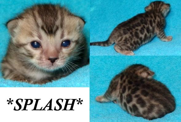 Bengal kitten silver rosetted