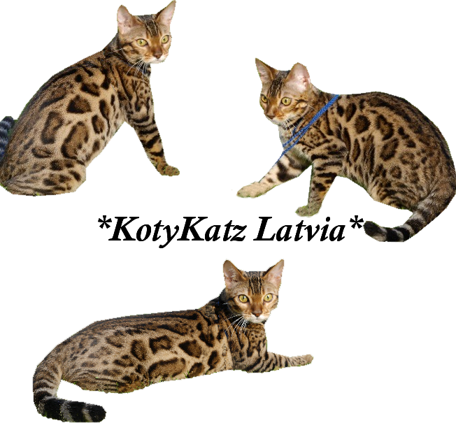 KotyKatz Latvia brown rosetted bengal