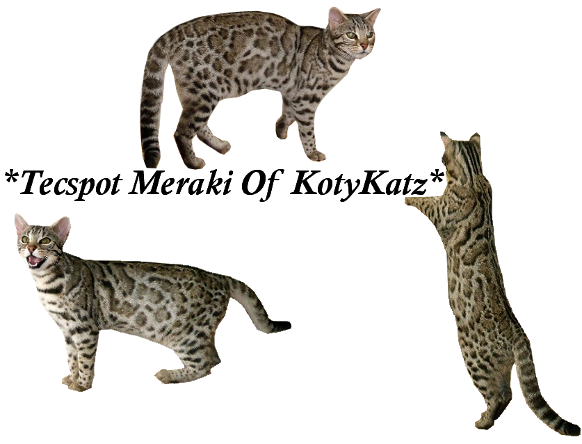 Silver F1 Bengal