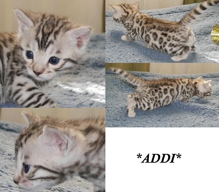 Addi - Silver Bengal Kitten