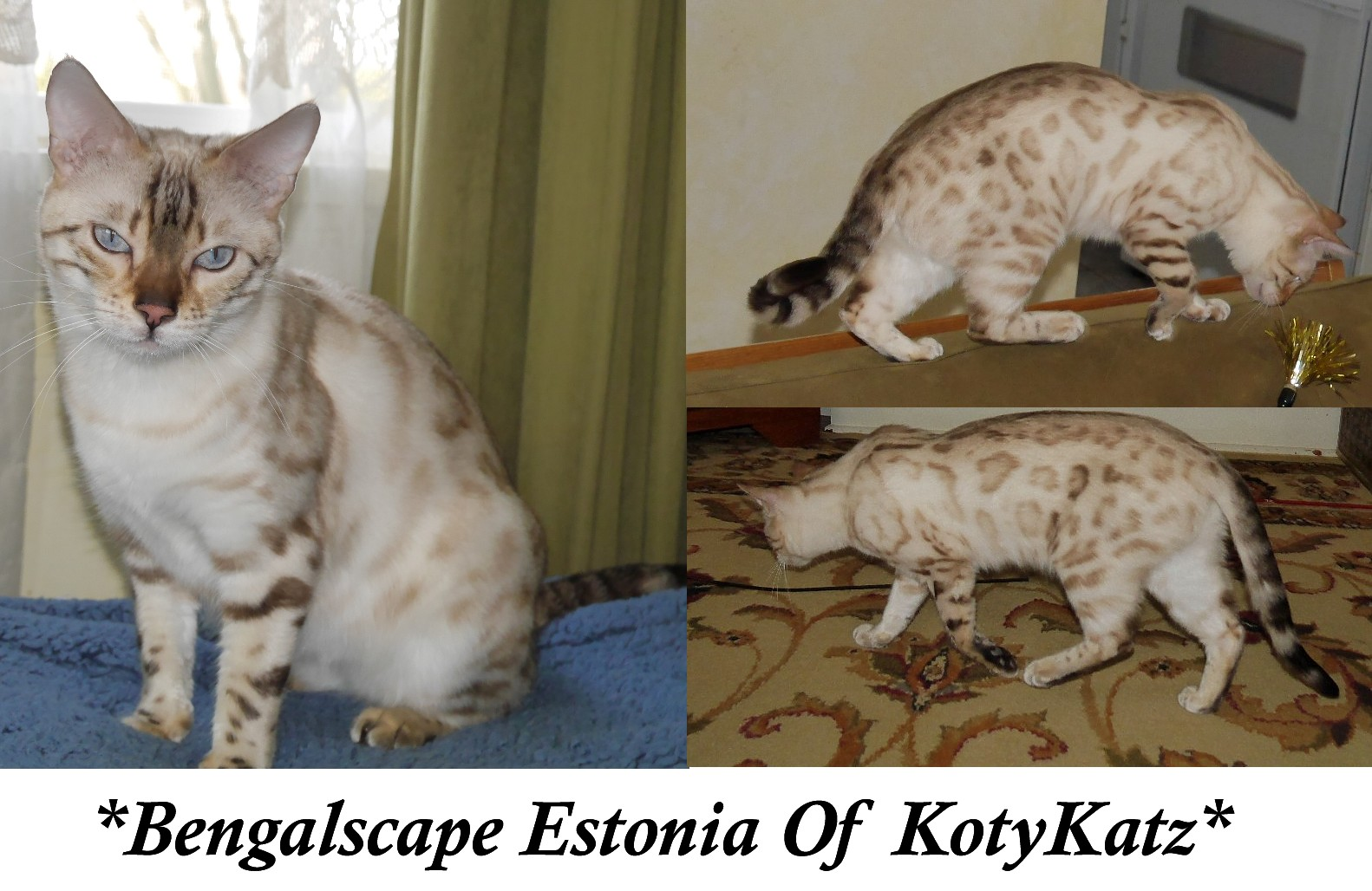 Bengalscape Estonia Of KotyKatz