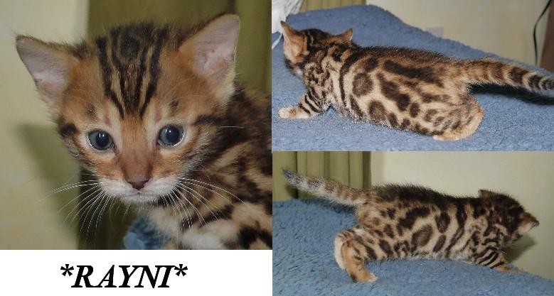 Rayni Brown Rosetted Bengal Kitten