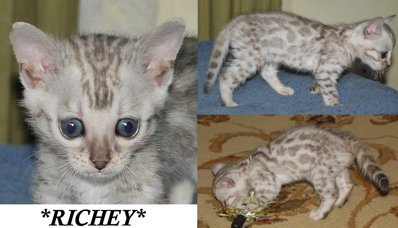 Richey Silver Rosetted F2 Bengal 6 weeks