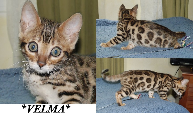 Velma Brown Donut Rosetted Bengal at 10 weeks