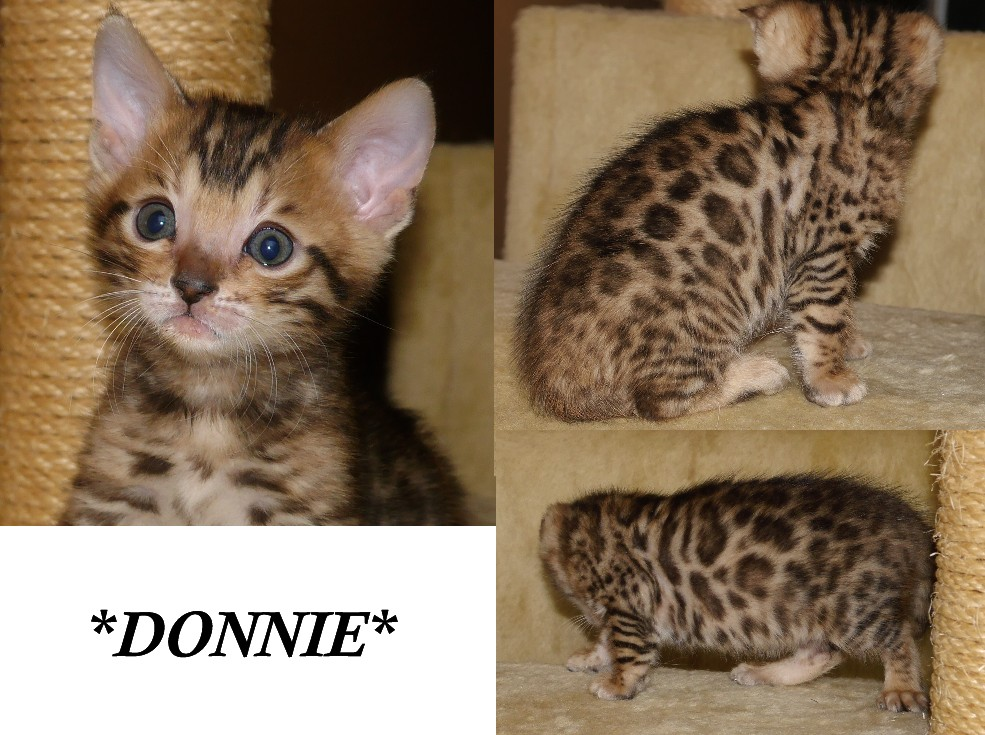 Donnie - Brown Rosetted Bengal Kitten 6 weeks