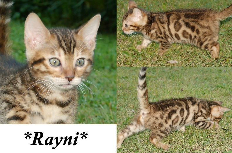 Rayni Brown Rosetted Bengal Kitten