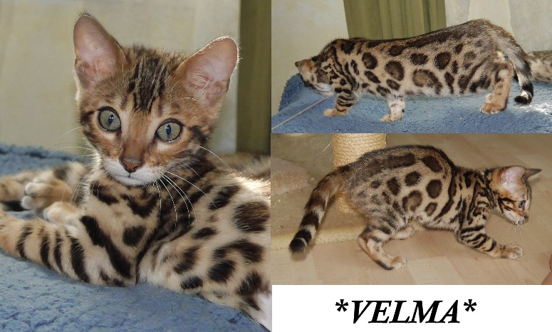 Velma Brown Donut Rosetted Bengal at 11 weeks