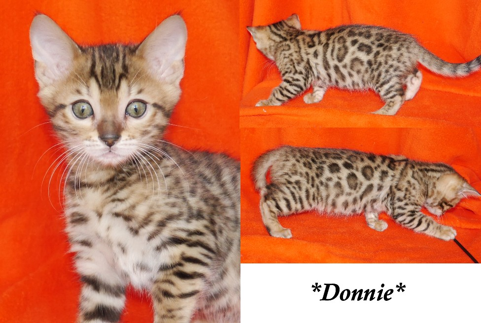 Donnie - Brown Rosetted Bengal Kitten 10 weeks