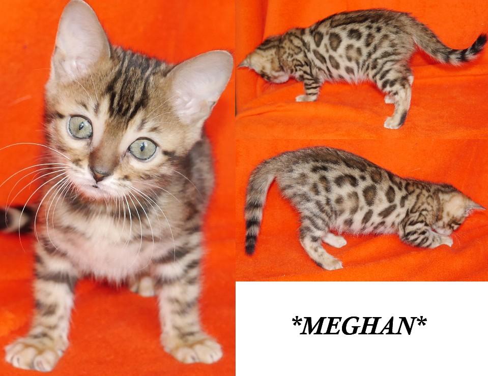 Meghan - Brown Rosette Bengal
