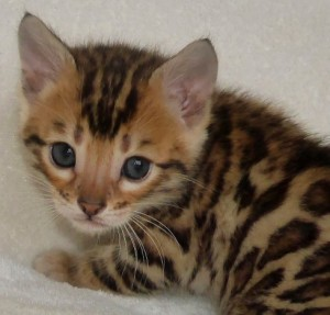 Choosing a Bengal Kitten