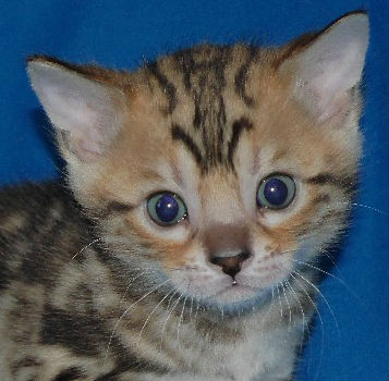 Available Kittens Icon