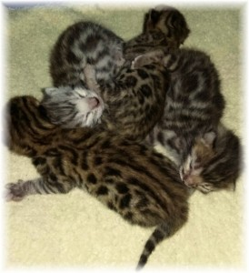 Brown and Silver Rosetted Bengal Kittens