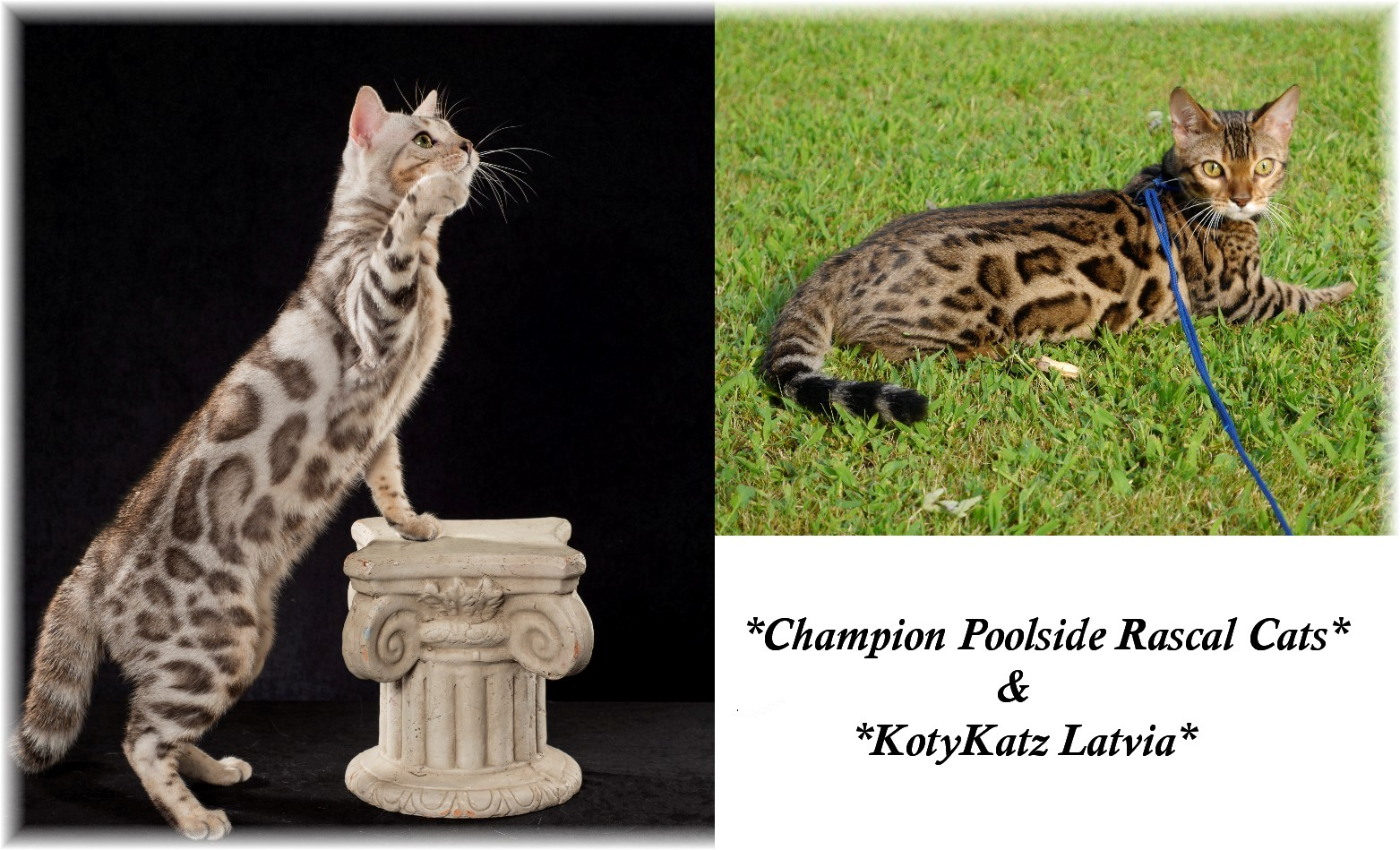 Silver Rosetted Bengal Cat & Brown Rosetted Bengal Cat