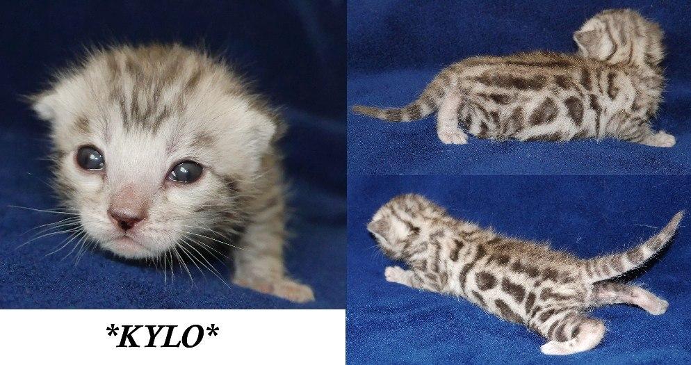 kylo 1 week brown rosetted kitten