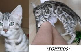 Porthos – Silver Rosetted Bengal Kiten