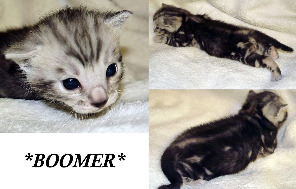 Boomer Silver Bengal Kitten