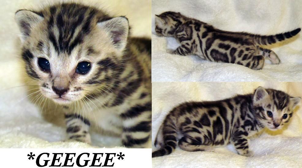 GeeGee Silver Bengal Kitten