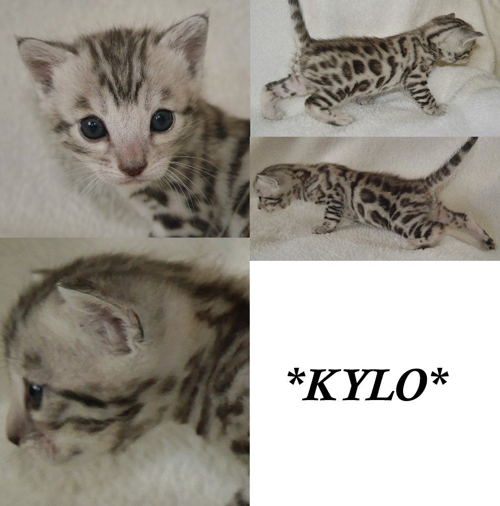 Kylo – Silver Rosetted Bengal Kitten