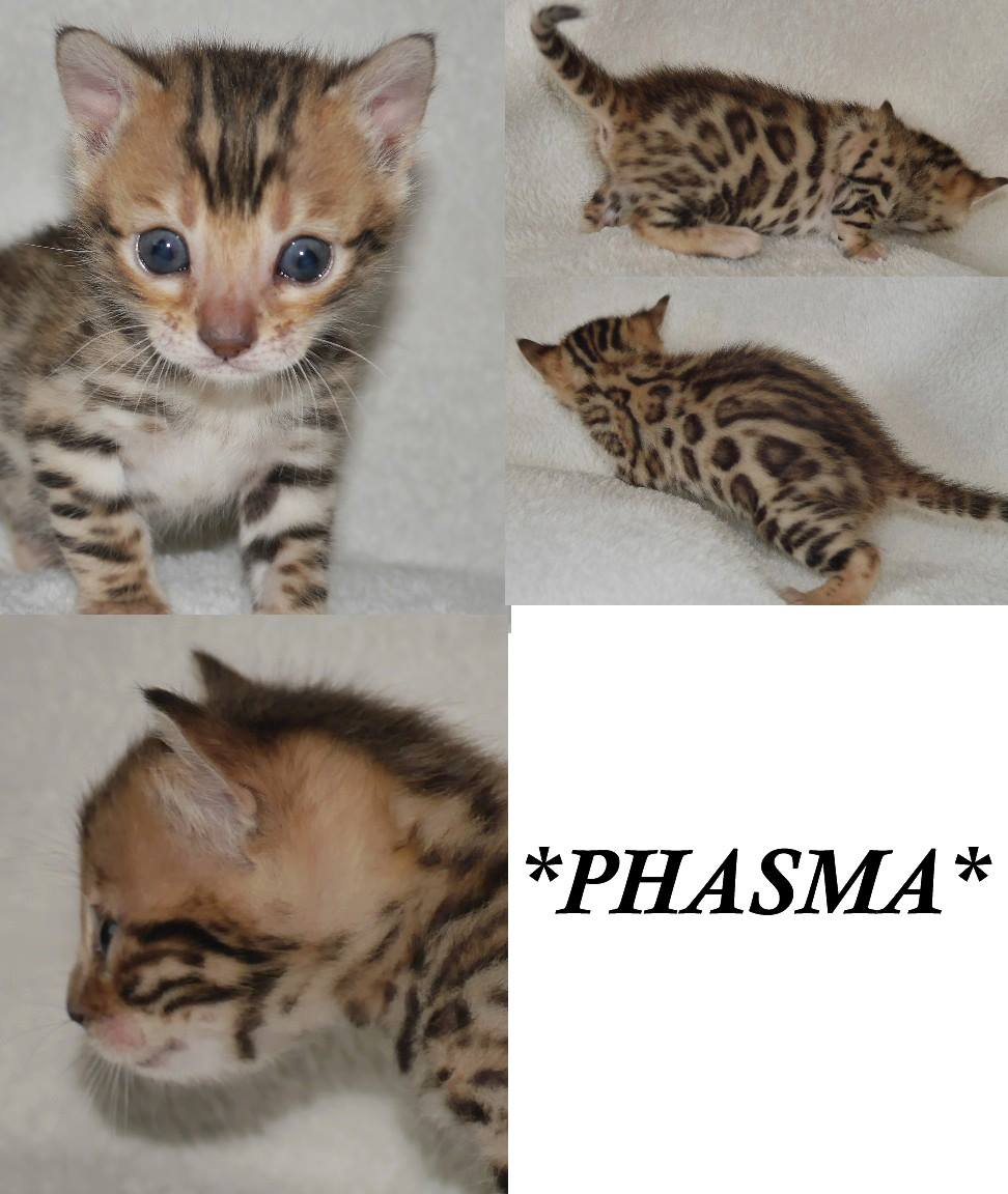 Phasma – Brown Rosetted Bengal Kitten - KotyKatz Bengals