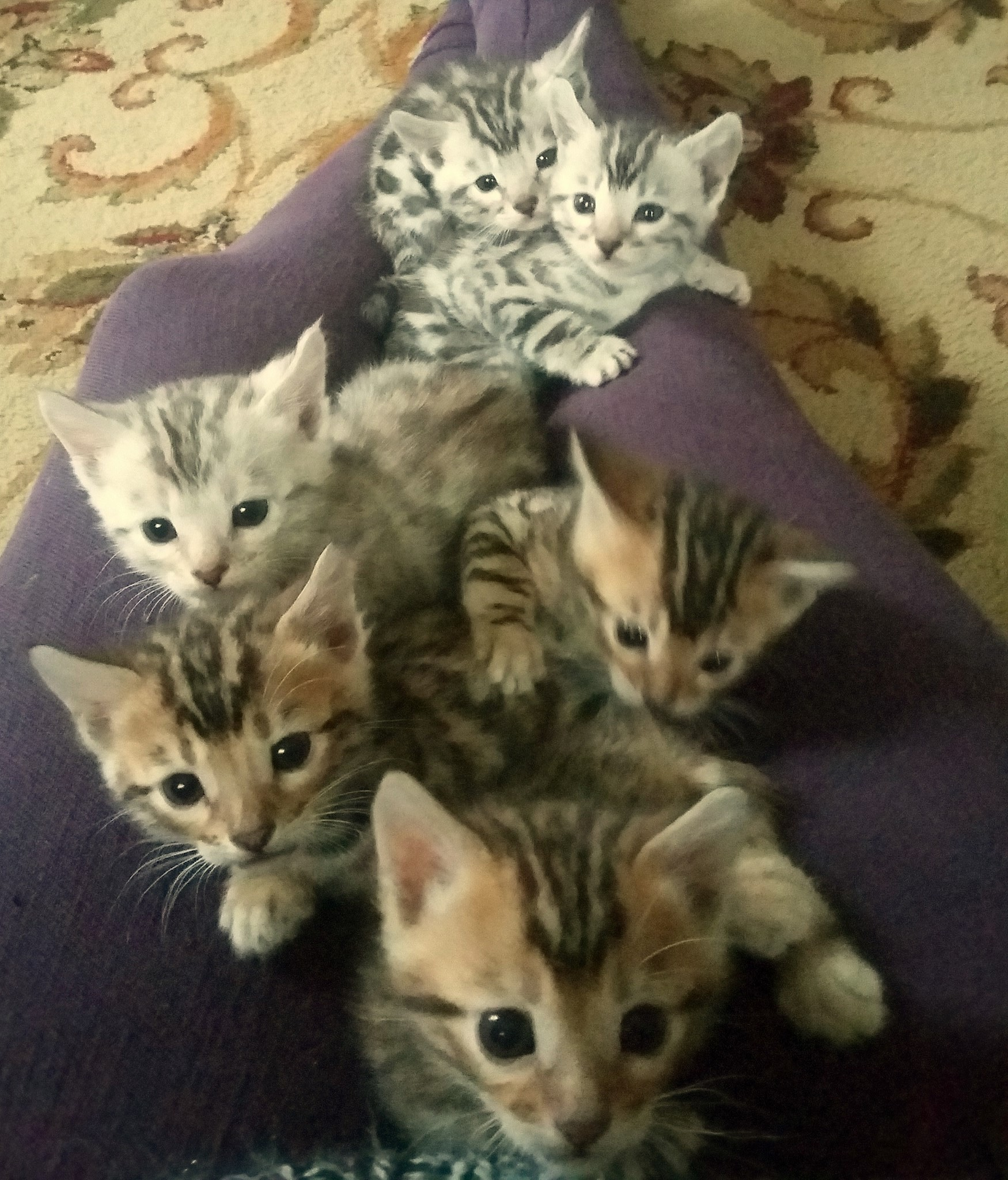 Lazarus - Blackstar - David Bowie Tribute Litter - Bengal Kittens ...