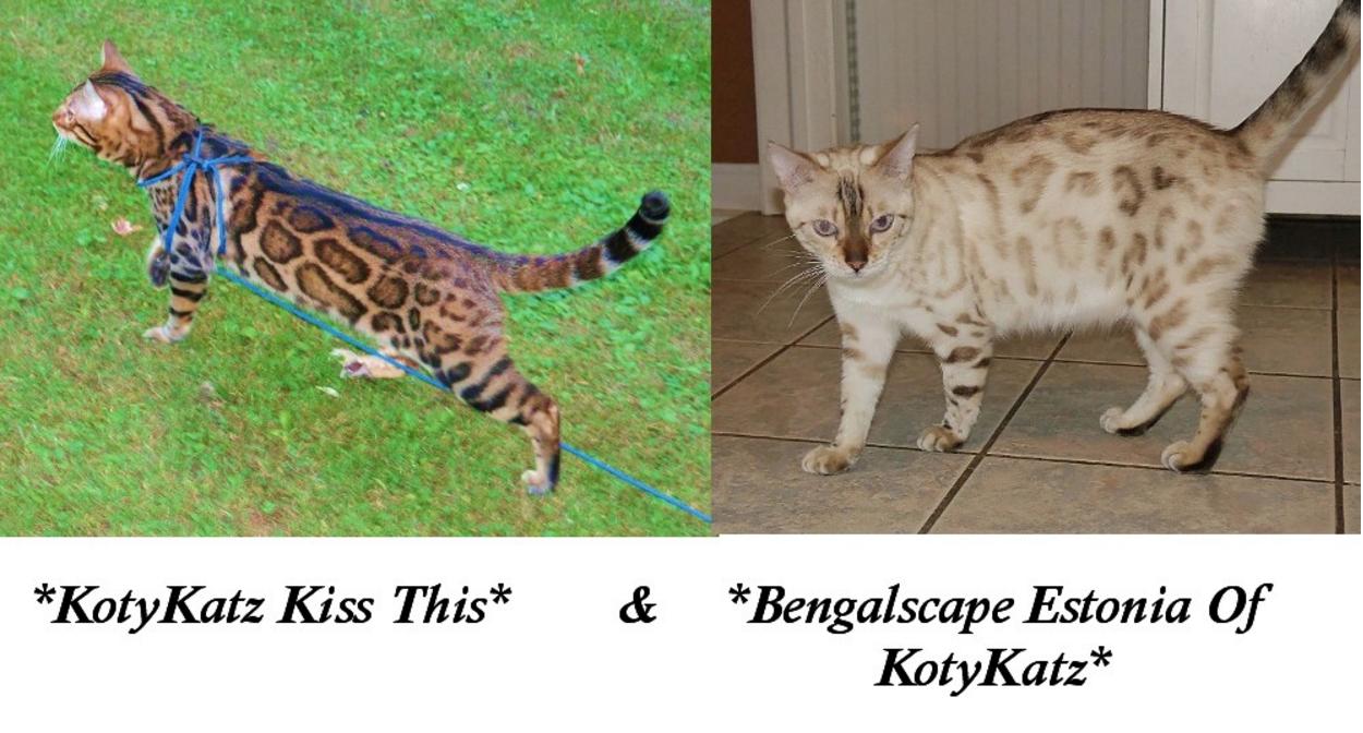 Upcoming Bengal Litter KotyKatz Kiss this Bengalscape Estonia of KotyKatz