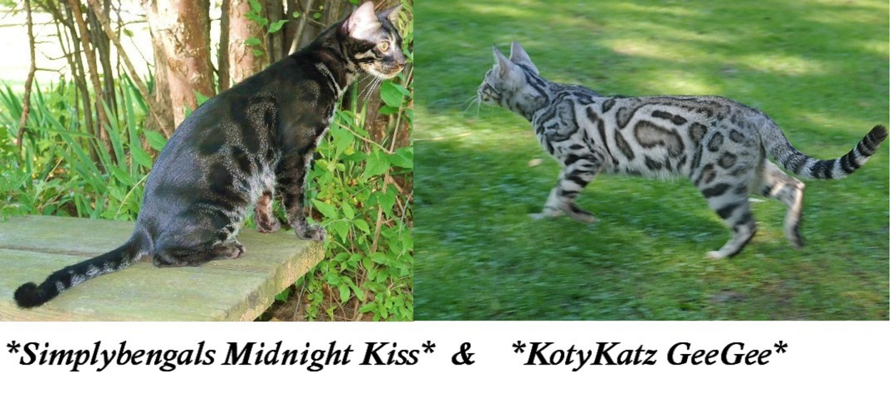 Upcoming Bengal Litter SimplyBengals Midnight Kiss KotyKatz Gee Gee
