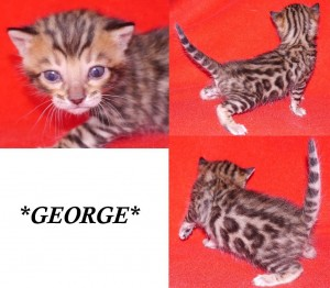 George - Brown Rosetted Bengal Kitten