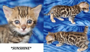 Sunshine - Brown Rosetted Bengal Kitten