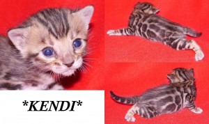Kendi - Brown Rosetted Bengal Kitten