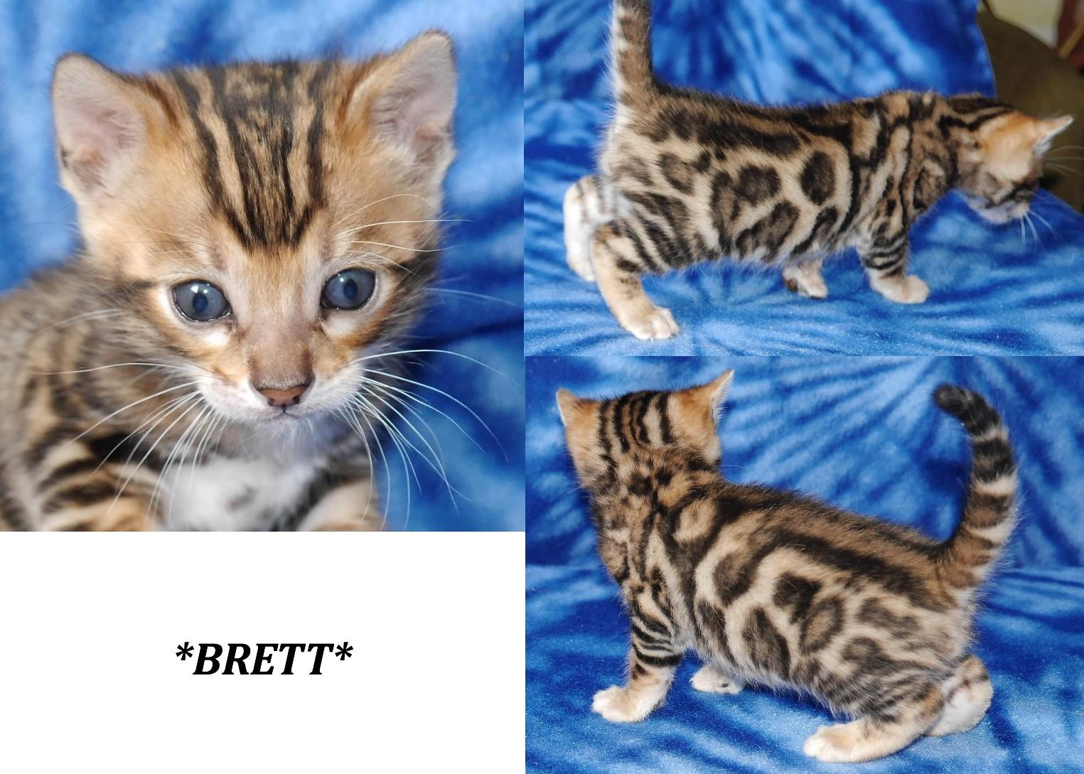 Brett - Brown Rosetted Bengal Kitten