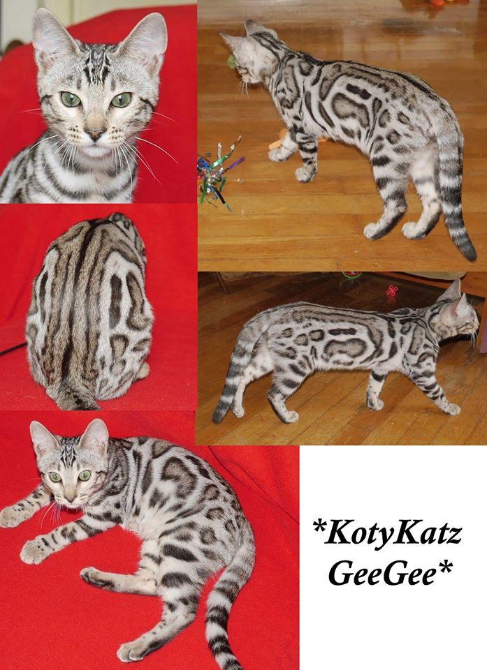 KotyKatz GeeGee - Silver Bengal Queen