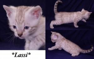 Lassi - Silver Lynx Bengal Kitten