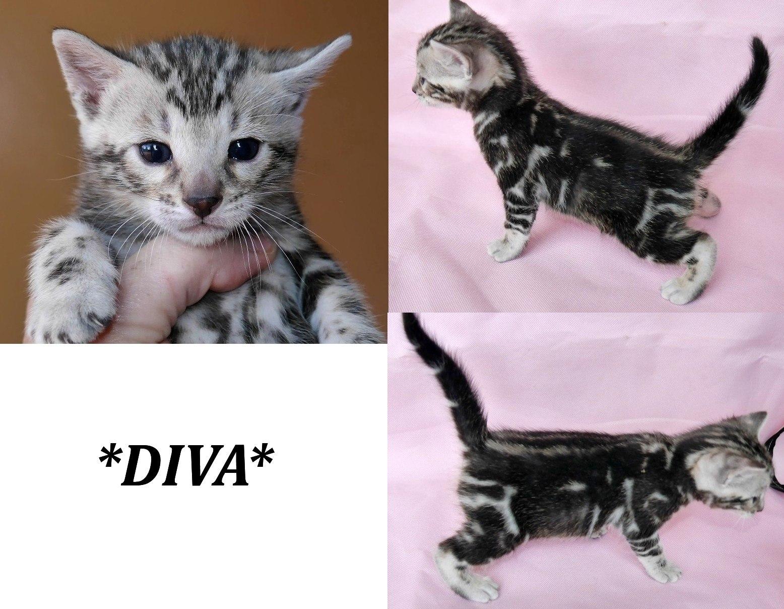 Diva Silver Marble Bengal Kitten KotyKatz Bengals