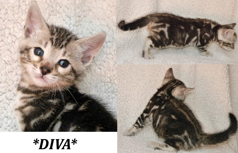 A Bengal Cats Personality Diva - Silver Marble B...