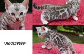 Silver Rosetted Bengal Kitten Jigglypuff 5 Weeks