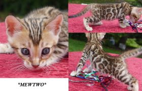 Brown Rosetted Bengal Kitten Mewtwo 5 weeks