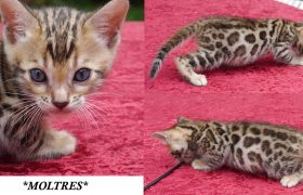Brown Rosetted Bengal Kitten Moltres 5 Weeks
