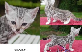Silver Rosetted Bengal Kitten Pidgey 5 Weeks