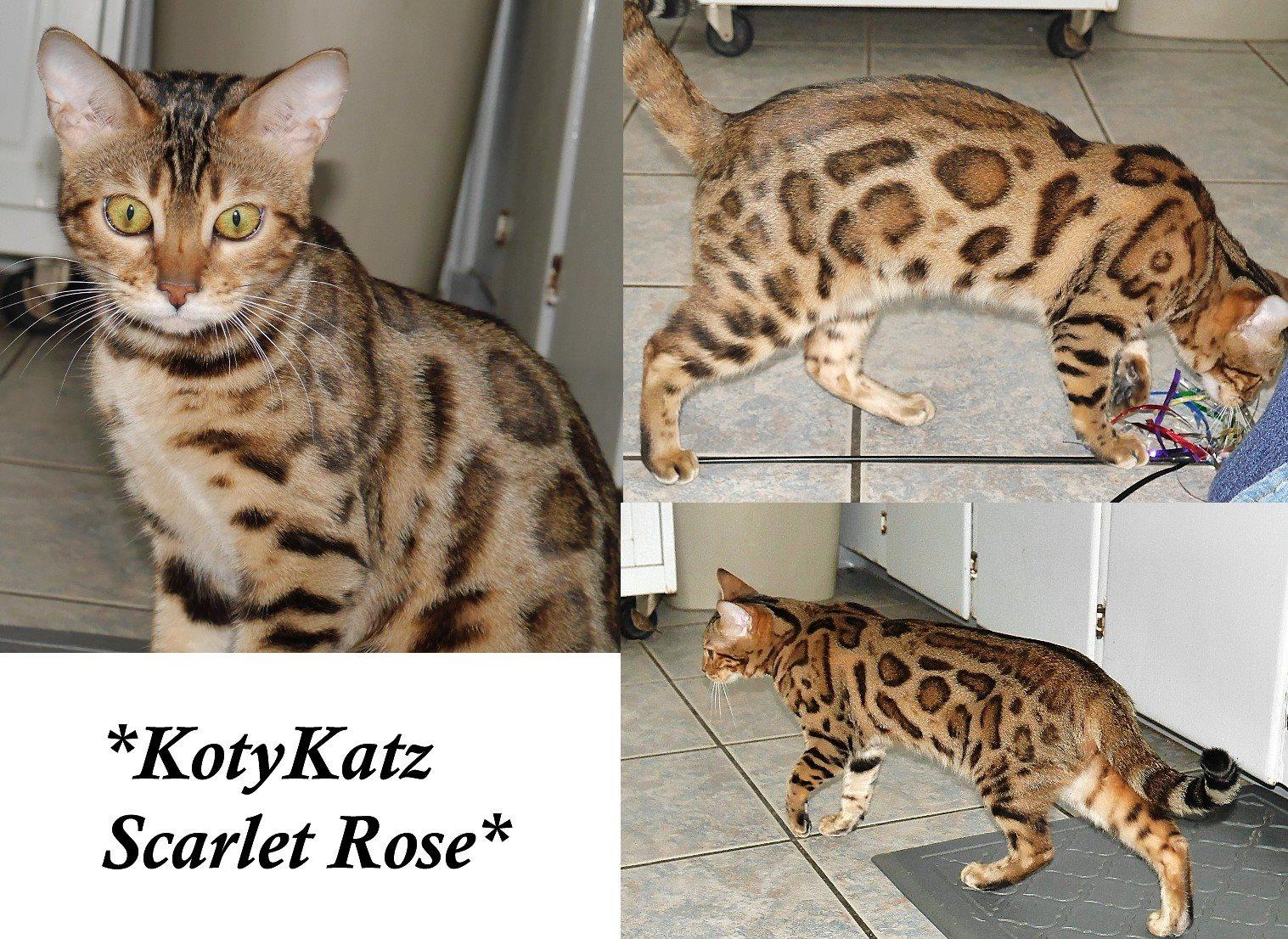 KotyKatz Scarlet Rose