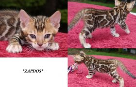 Brown Rosetted Bengal Kitten Zapdos 5 Weeks