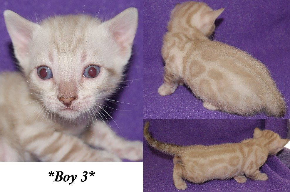 Silver Spotted Bengal Kitten