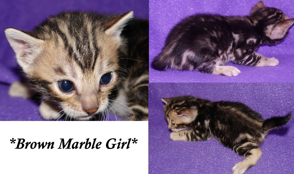 Brown Marble GIrl Bengal Kitten